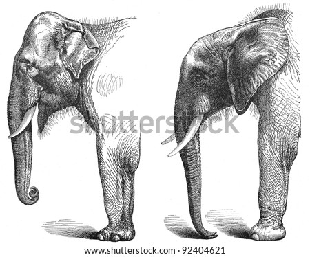 left. Indian elephant ((Elephas maximus indicus) - right. african elephant (Loxodonta africana) / vintage illustration from Meyers Konversations-Lexikon 1897