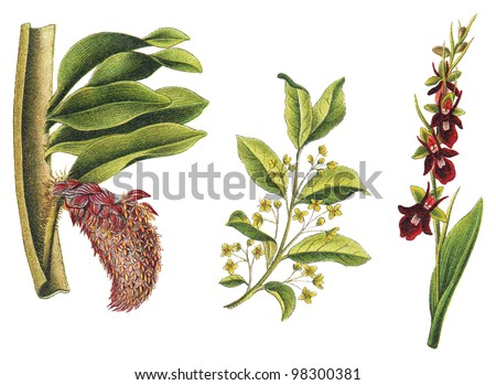 left Orchid (Bulbophyllum beccarii), middle Spindle (Euonymus europaeus) and right Fly Orchid (Ophrys muscifera) / vintage illustration from Meyers Konversations-Lexikon 1897