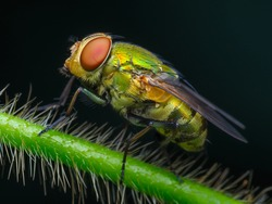 Left side view of green fly on hairy branch (macro).