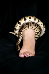 Leg with Royal Python snake. Ball Python slithering and crawling around female leg and foot on black bed. Exotic tropical cold blooded reptile animal, non poisonous Python regius species of snake.