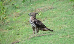Legge's Hawk eagle waiting for a prey