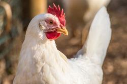 Leghorn chicken close up