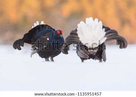 Lekking Black Grouse in central Sweden