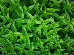 Lemon balm background. Melissa officinalis leaves. Texture backdrop of aromatic plant.
