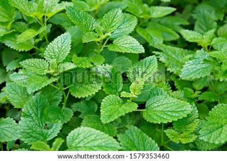 Lemon balm, common balm or balm mint (Melissa officinalis) on garden
