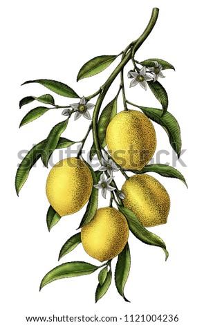 Lemon branch illustration vintage clip art isolate on white background