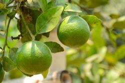 Lemon . Cultivation.green lemon - lemon tree -limes - lime tree.green lemons hanging on tree.Lemon hanging on a tree.Lemon tree branch with lemons and leaves in background.