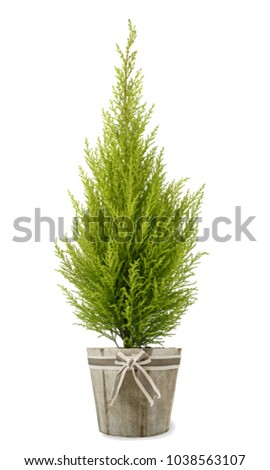 Lemon Cypress plant in vase isolated on white background