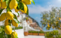 Lemon garden in Italian Amalfi coast ready for harvest. Bunches of fresh yellow ripe lemons with green leaves.