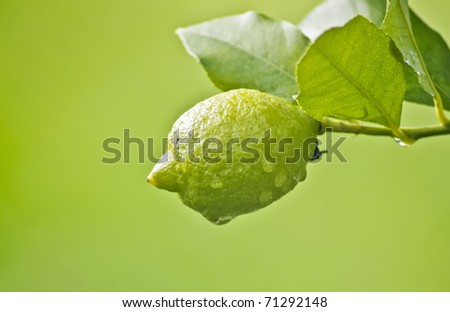 Lemon in tree after rain on green background