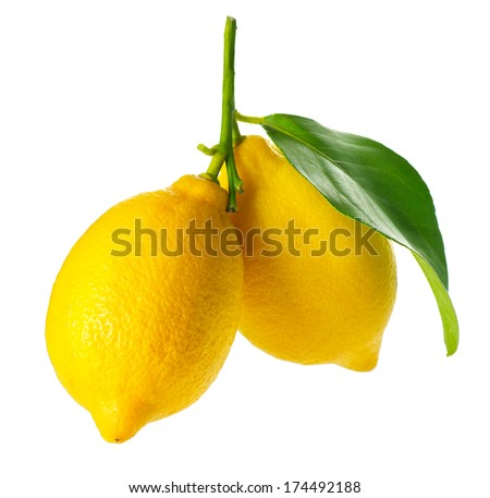 Lemon isolated on a White background. Fresh and Ripe Lemons hanging on a branch with Leaf