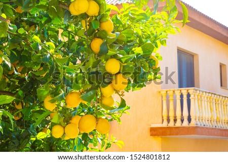 Lemon. Lemon Tree.Ripe lemons are hanging on a tree. Lemons grow near the house.Growing lemons. Citrus Fruit growing. Lemon juice.Fruit on a plot near the house. The fruits of the citrus tree.Cyprus