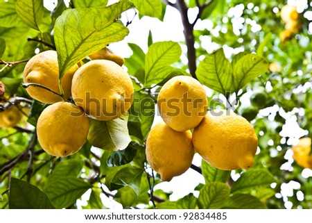 Lemon on the tree in Costiera Amalfitana, tipical Italian location for this fruit