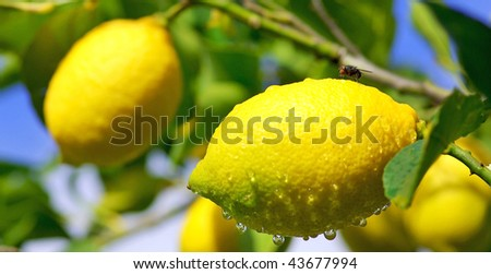 Lemon on tree.