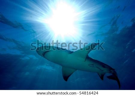 Lemon shark and sun burst