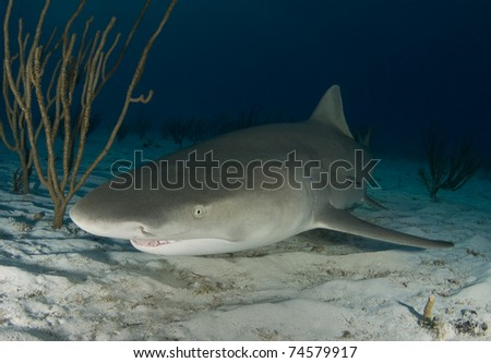 Lemon Shark (Negaprion brevirostris) swims along the sand at dusk in the Bahamas. - stock photo