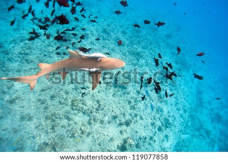 Lemon shark swims among fish in Pacific ocean