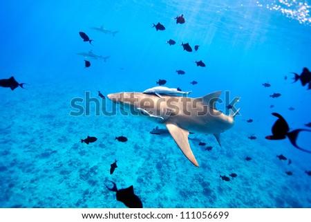 Lemon shark swims through fish in Pacific ocean