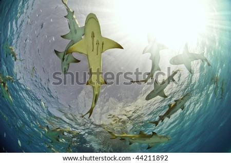 Lemon sharks gathering near the surface looking for food.