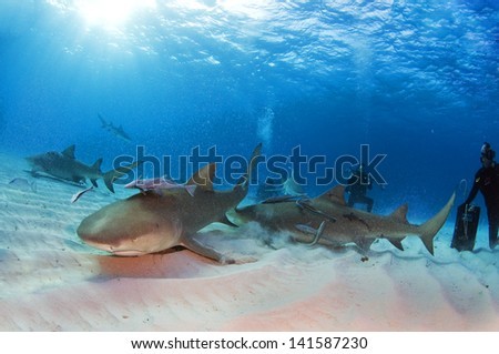 Stock Photo Lemon sharks kicking up some sand for a bite of bait.
