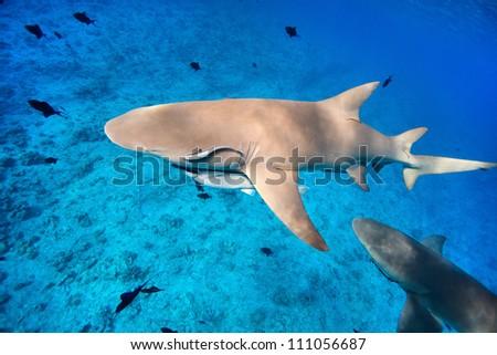 Lemon sharks swim among fish in Pacific ocean