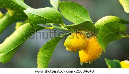 lemon tree branch and leaves in background - stock photo