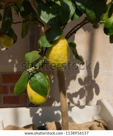 Lemon Tree (Citrus x limon 'Four Seasons') in a Conservatory in Rural Somerset, England, UK