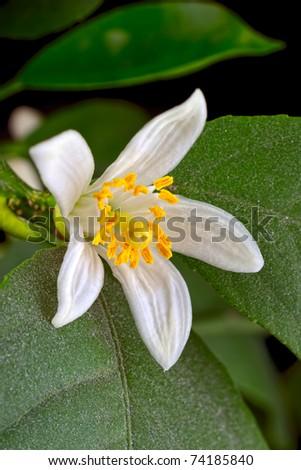Lemon tree flower and leaves on black background. Not isolated, studio shot