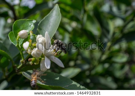 lemon tree flower on its tree, flower open and in buds, with the presence of a bee #1464932831