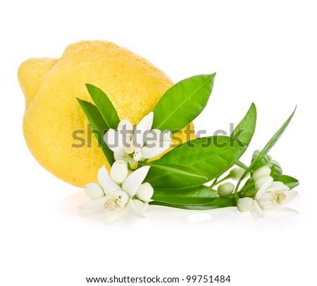 Lemon tree flowers on a  lemon isolated  on white background