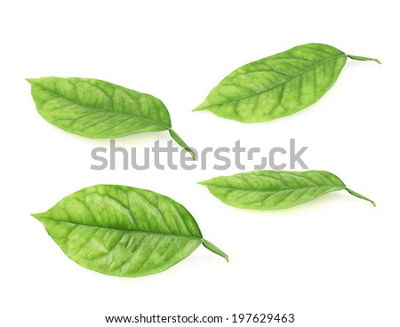 Lemon tree green leaves isolated over the white background, set of four