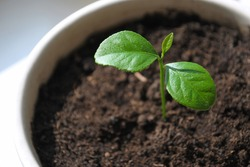 Lemon tree houseplant from seed. Sprout