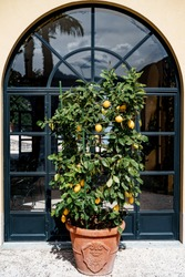 Lemon tree in a pot, with yellow fruits on the foliage and branches.