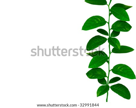 lemon tree leaves ribbon with a free space to place your information