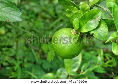 Lemon tree,Lime fruit in nature Outdoor - Shutterstock ID 743246656