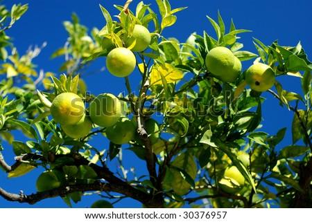 Lemon tree with beautiful lemons
