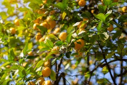 Lemon tree with ripe fruits. Branch of fresh ripe lemons with leaves in sun beams. Mediterranean citrus grove