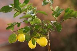 Lemon tree with yellow fruit