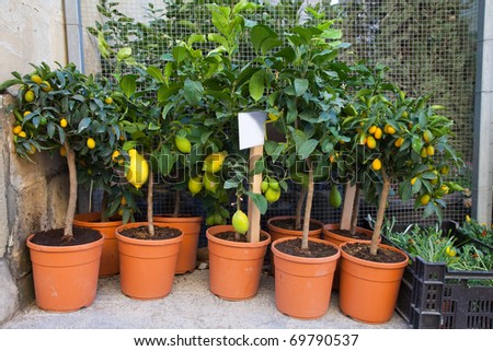lemon trees in pots at street flower shop