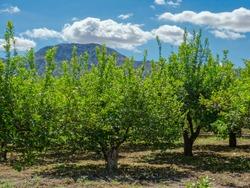 lemon trees with sun a blue sky