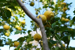 Lemons caught with 16mm lens on a sunny day. Closeup shot with A6400