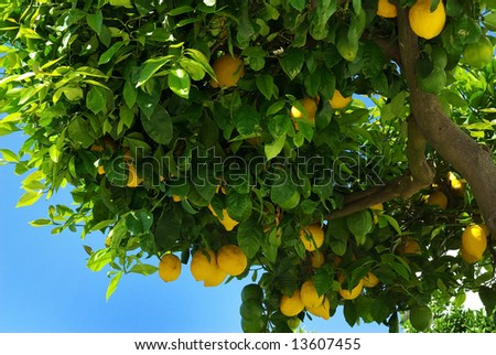 Lemons growing on lemon tree.