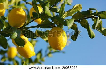 Lemons on lemon tree.