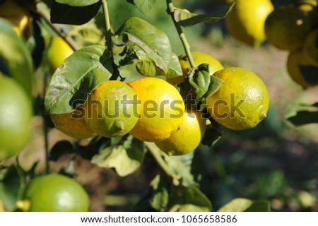 Shutterstock Lemons on the lemon tree, Costa Blanca, Spain