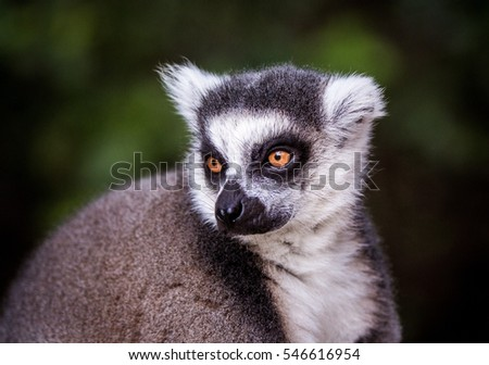 lemur #546616954
