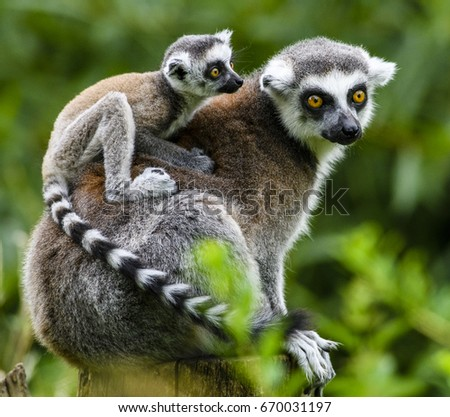 Lemur catta baby on the mother's back/Lemur catta baby and mother/Lemur Catta