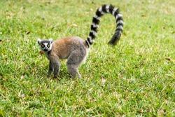 Lemur Catta (Maki) in the Nahampohana reserve, Madagascar