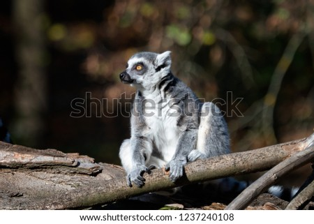 Lemur catta on the tree. The ring-tailed lemur (Lemur catta) is a large strepsirrhine primate and the most recognized lemur due to its long, black and white ringed tail.