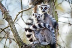 lemur catta portrait in nature