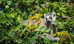 Lemur catta, ring tailed in the wild feeding on yellow flower, Madagascar